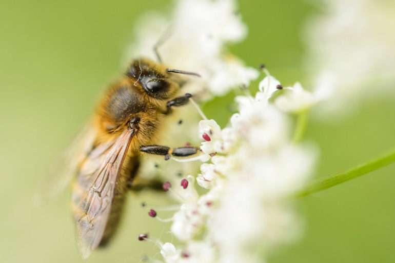 France, Morbihan (56), La Gacilly, abeille