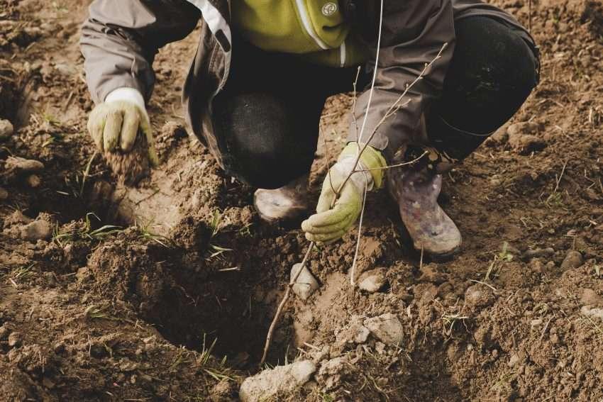 planter un arbre pour faire renaître les haies
