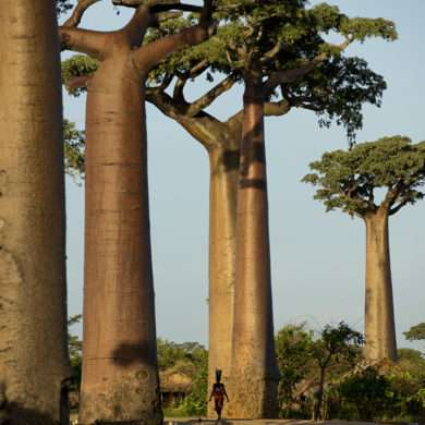 Madagascar, baobabs threatened with extinction, photographer support for Pascal Maitre