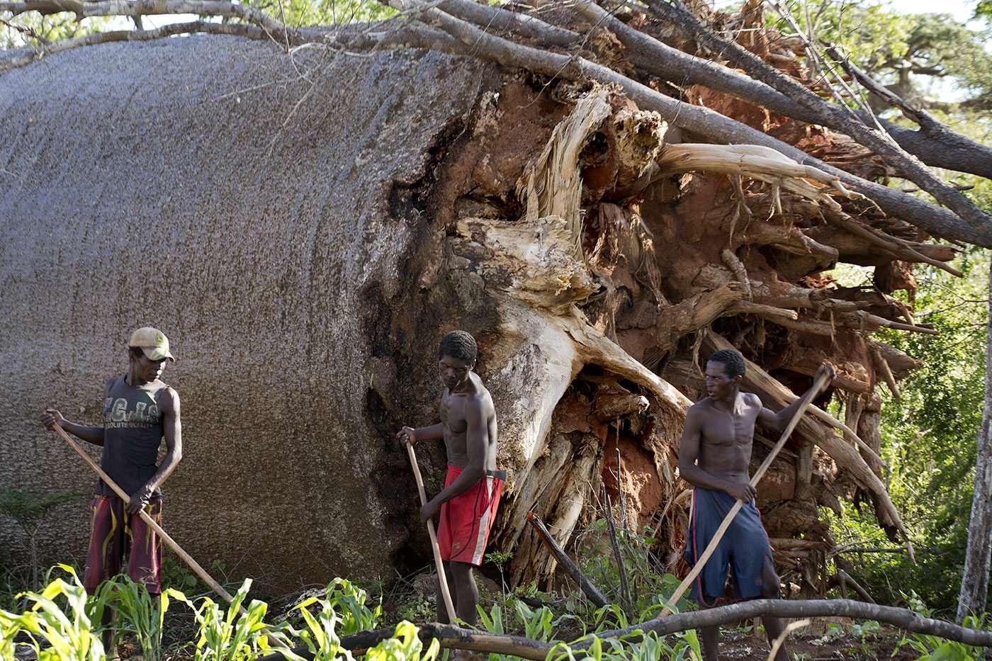 Reportage Pascal Maitre Madagascar, les baobabs menacés d'extinction, soutien photgraphe Pascal Maitre