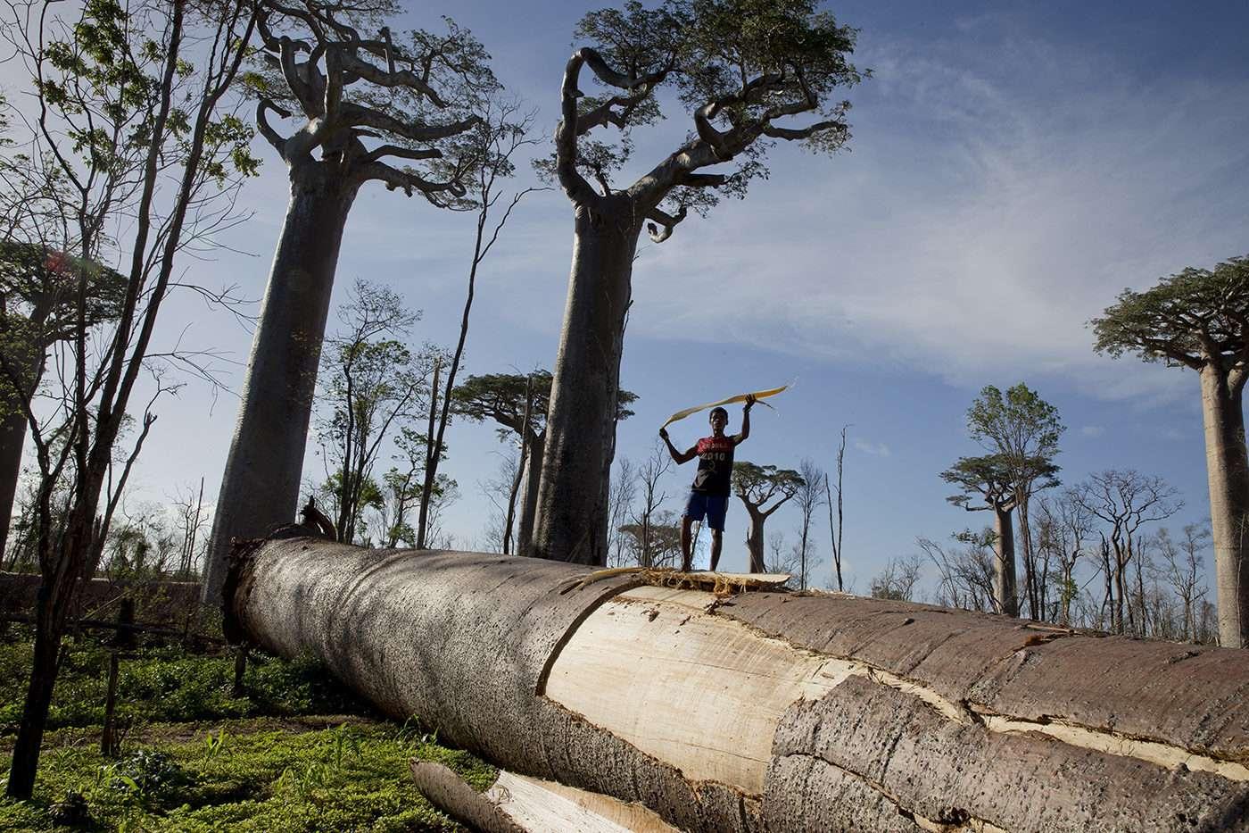 Les baobabs menacés par fléau de la déforestation à Madagascar. reportage Pascal Maitre